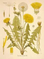 dandelion-botanical