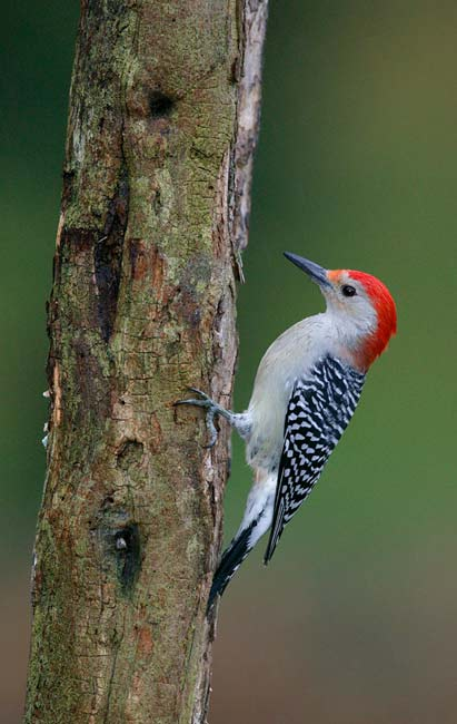Red Bellied Finch Red-bellied Woodpecker And